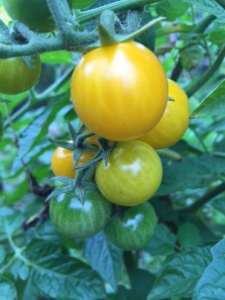Tomato 'Sunbaby' from Chiltern Seeds