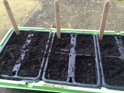 sowing tomato flamingo